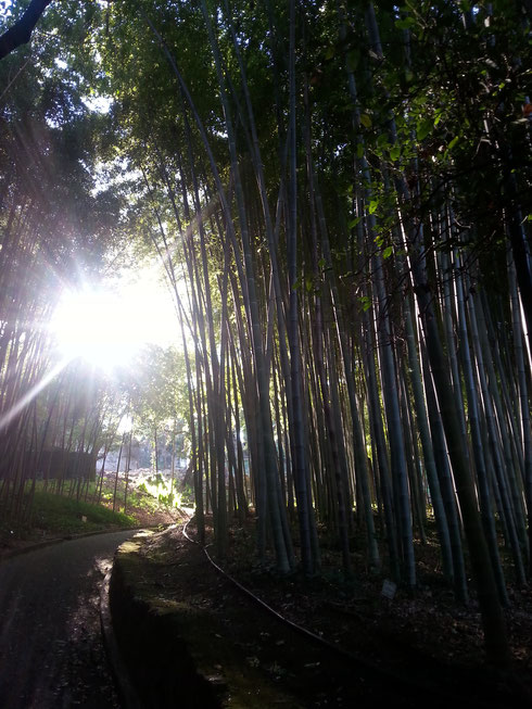 Uno pensa di fare una tranquilla passeggiata sulle pendici del Gianicolo e si ritrova un una foresta di bambù. Può accadere solo all'orto botanico...