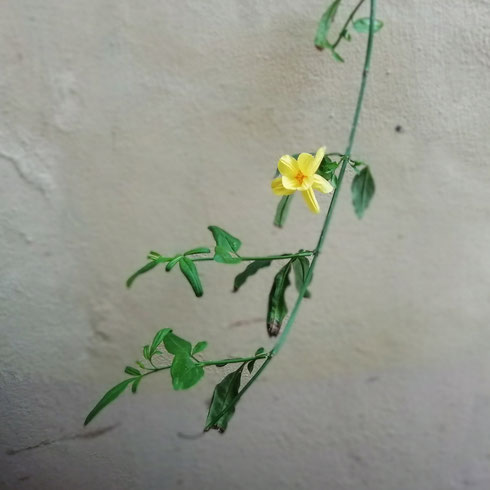Piccoli scampoli di primavera giganteggiano su muri anonimi. Ci siamo persi la fioritura del glicine, ma anche questi fiori minimi mettono allegria