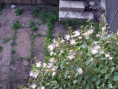 Le piante sono in fondo parte della storia stessa di Roma: pensate alle corone d'alloro dei trionfatori, alle foglie d'acanto sui capitelli...alle piante di cappero, con i loro bellissimi fiori, che crescono sui monumenti. Come qui, a largo Argentina...