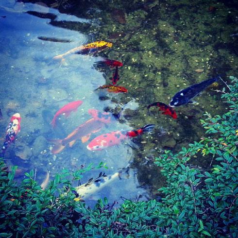 Piccolo angolo di Giappone all'orto botanico. Carpe e serenità zen...