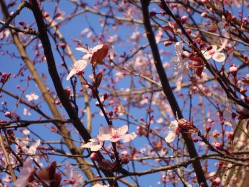 Anche se l'aria la mattina è ancora freddina, e anche se manca un mese alla primavera, uscire di casa e vedere un albero fiorito rende la giornata più bella