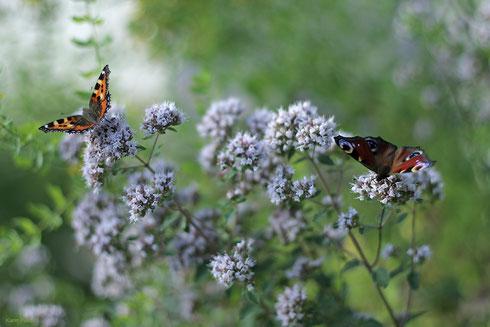 Vom Frühjahr bis in den späten Herbst erfreuen uns Schmetterlinge mit ihrem leichten, beschwingten Flug. Was können wir tun, um sie in unseren Garten oder ans Haus zu locken?  Foto: Karin Pusch