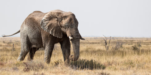 Afrikaanse olifant in Etosha National Park