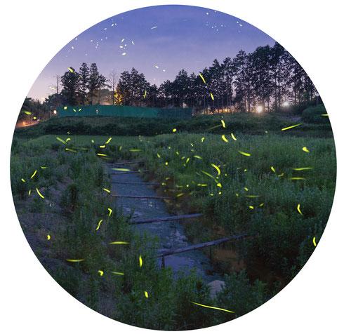 #Suzuka_city #Mie_prefecture #Japan #hotaru #firefly #vagalume #Genji_firefly