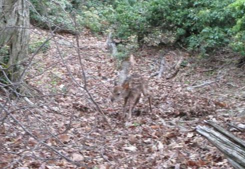ようやく立って居られる生後 間もない小鹿