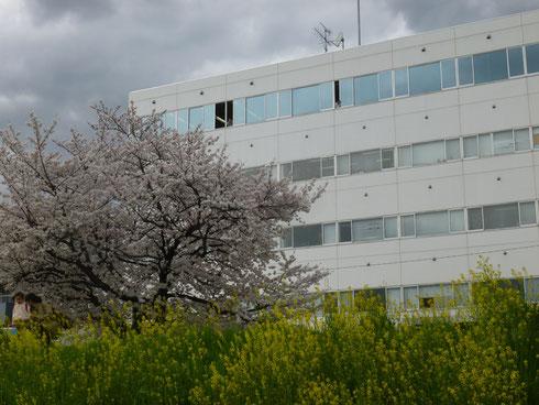 桜も散ってきましたな〜