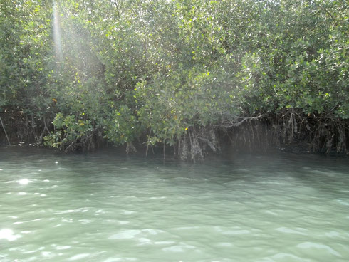 Wurzeln der roten Mangroven am Flussufer