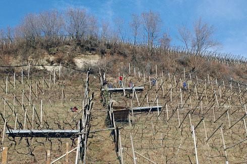 Il lavoro nei campi non si ferma neanche in inverno: Entro fine gennaio dovrebbe terminare la cosiddetta potatura dei viticci.