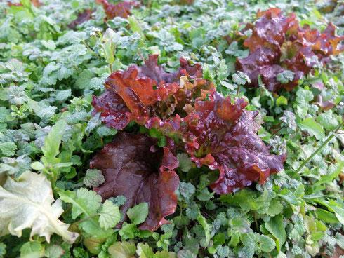 ミモレ農園 農薬不使用 サニーレタス 雑草の中で育っています