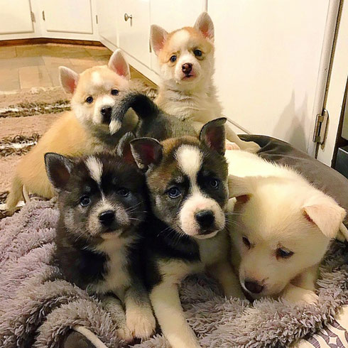 f0a99bdcb Available Toy Size AKK Puppies~ - Burch Kennel Club Huskies Indiana