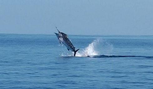 Seychelles fishing Marlin jumping Nov. 2013