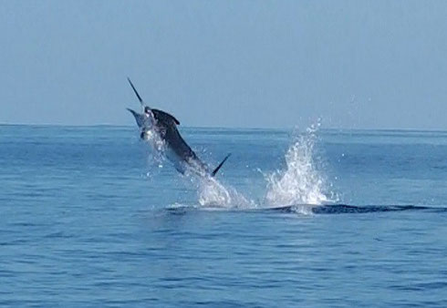 Seychelles fishing Marlin jump
