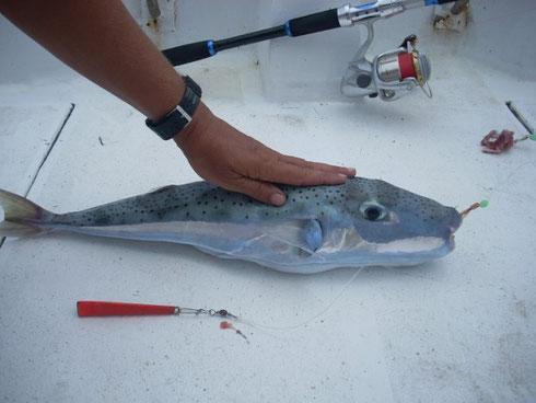 Seychellen angeln Fugu Okt. 2013