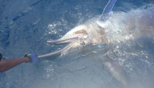 Seychelles fishing Marlin release Jan 2014