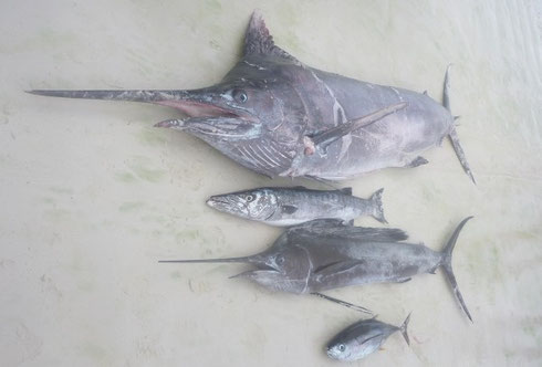 Seychellen angeln Marlin & Segelfisch Jan. 2014