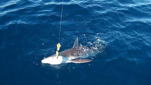 Seychelles fishing shark Dec. 2013