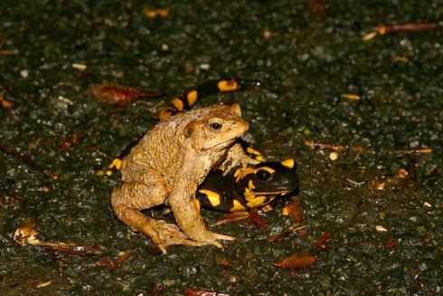 Erdkröte und Feuersalamander (Foto: Stefanie Beyer)