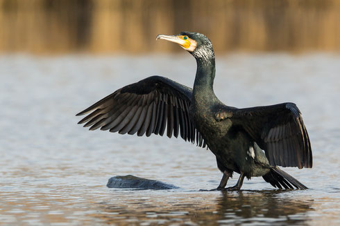 Kormoran | Phalacrocorax carbo
