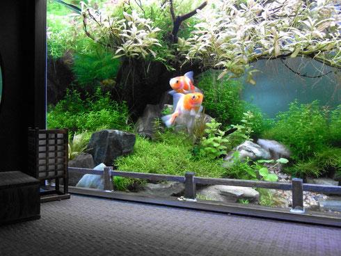 「桜」と名のつく金魚舞う庭園。HAMAXさんの金魚です。