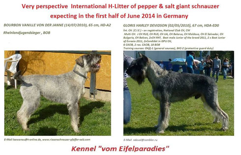 "Litter ""H"" - Riesenschnauzer pepper and salt"