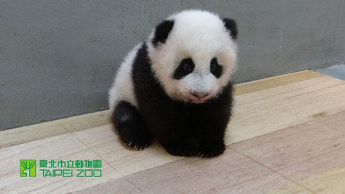 お行儀がいいでしょう♪台北市立動物園のサイトよりダウンロードした赤ちゃんの写真だよ