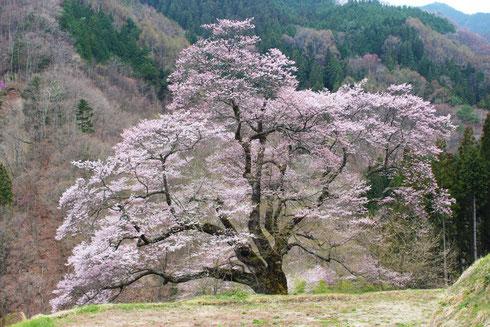2014年4月20日本日の駒つなぎの桜