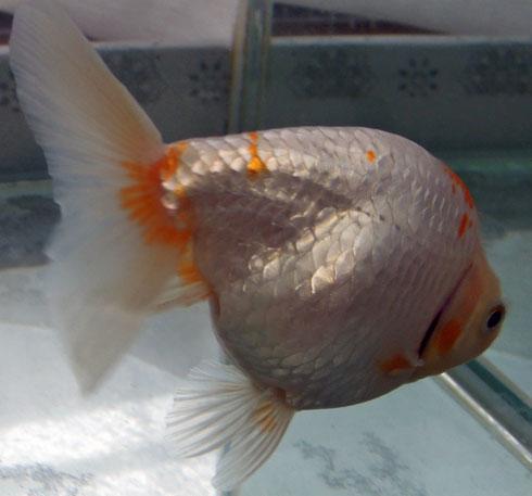 この方は二歳魚