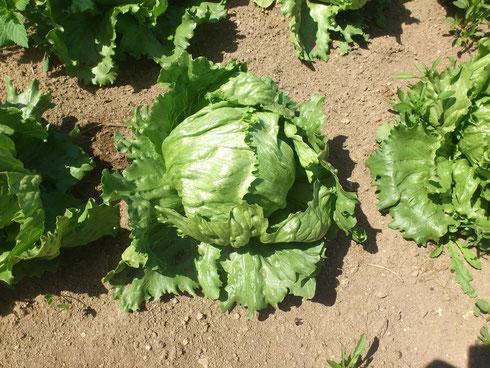 Eisberg Salat
