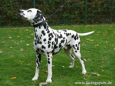 Loyal Companion of the Living Spots (Carlos)
