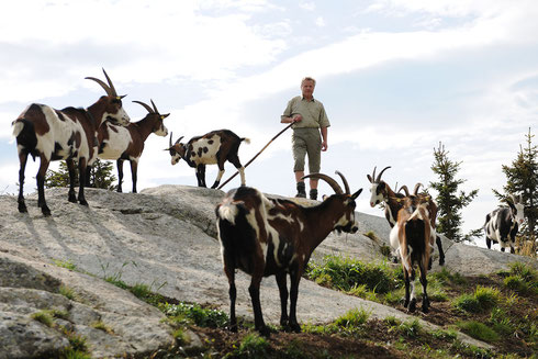 Hans Wallner mit seinen Tauernschecken auf der Hochalm im Salzburger Raurisertal