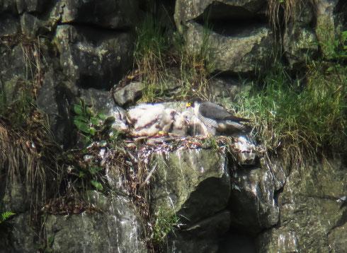 3. Mai 2014: Wanderfalke füttert drei Jungvögel                                                  (Foto: Karsten Kördel)