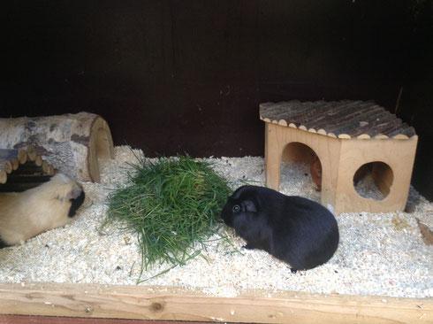 Mable mit ihrem neuen Partner, einem Notschweinchen aus Bingen von Sabrina