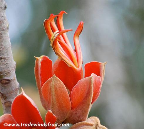 flor de la manita en Malinalco