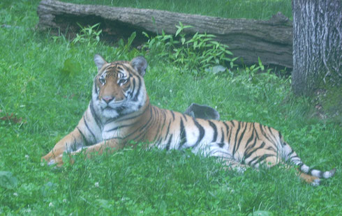 2011 Tigers Spend a Lot of Time Sleeping; We Finally Caught This One Awake for a Spell