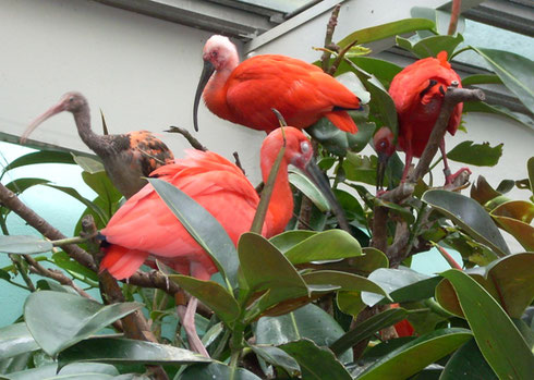 2009 Red Ibis Cluster at the Top of the Tropical Plants in the Bird House