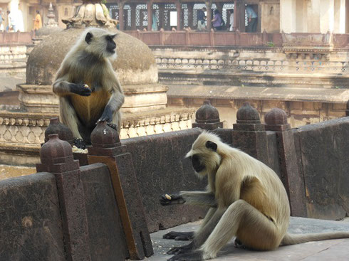 2013 Monkeys pose for Tourists at Jahangir Mahal in the city of Orcha