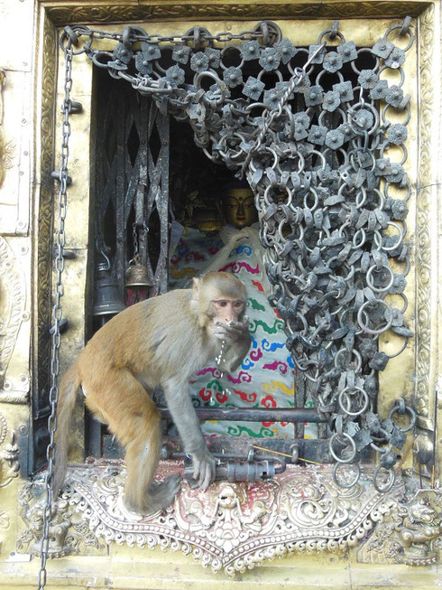 2013 One of the Monkeys Taking Rice Offerings from one of the Shrines at Monkey Temple