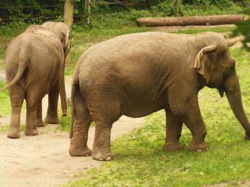 See these Elephants on the Wild Asian Monorail Ride where the Animals Run Free