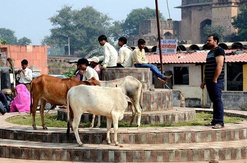 2013 Cows are sacred to the Hindu people; they roam freely through the streets