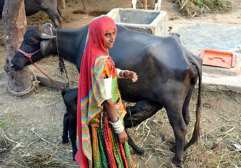 2013 Just outside New Delhi, a woman tends her cow and calf
