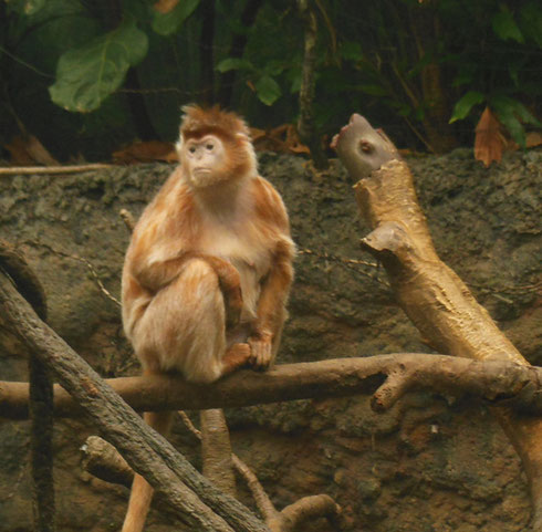 2015 A Langur - The Asian Rainforest Exhibit Covers Almost a Full Acre