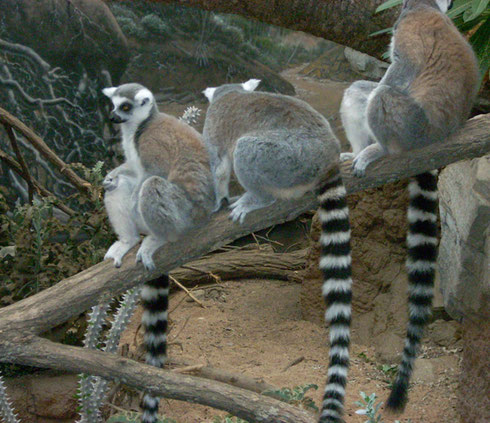 2009 Ring-Necked Lemurs from the Madagascar Exhibit Wait Quietly to be Fed