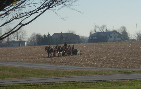 2011 A Team of Mules Working the Fields in Bird in Hand, Pennsylvania