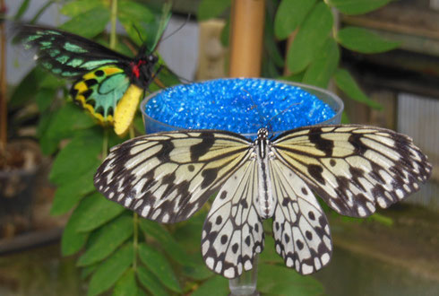 Over 50 Varieties of Lepidoptera Fly Free in 8,000 Square Feet of Conservatory Space