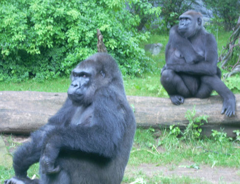 2009 The Congo Gorilla Habitat is one of the Best Features at the Bronx Zoo