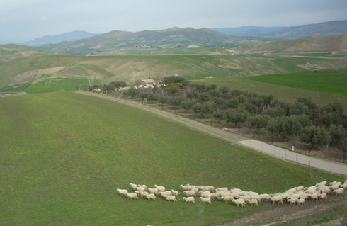 2011 Sheep Heading Home to the Hills just outside Catania, Sicily