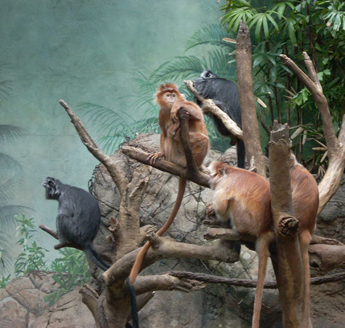 2009 Langurs Make Themselves Comfortable in the Indoor Asian Rainforest Habitat
