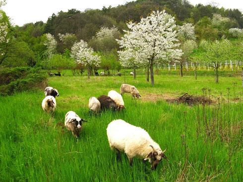 Schafe auf der Streuobstwiese (Foto: Franz Josef Ziegler)