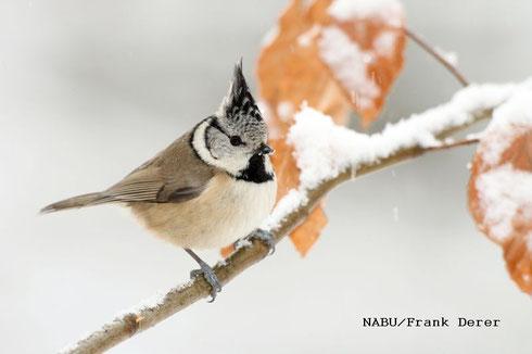 Haubenmeise auf schneebedecktem Ast