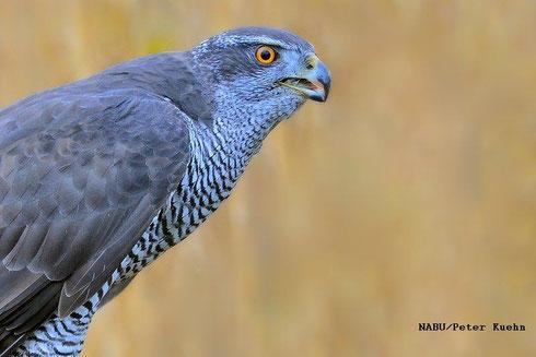 Der Habicht, Vogel des Jahres 2015, seitlich fotografiert